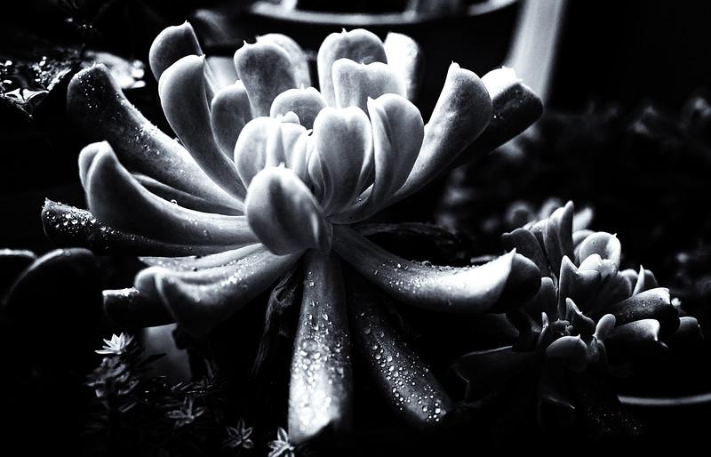 succulent Ilford 100 051420-.jpg