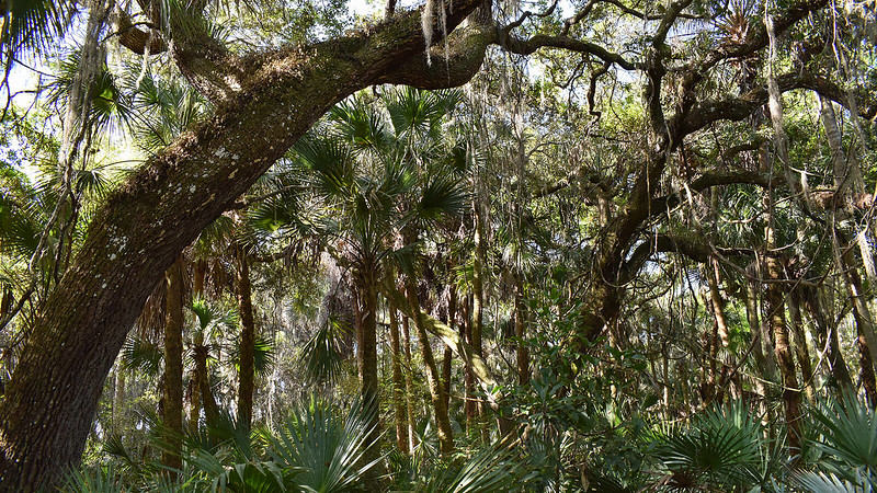 Dense forest oaks and palms