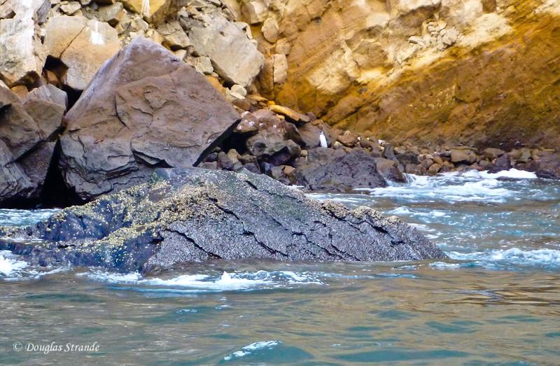 Penguins at Punta Vincente Roca, Isabela Island