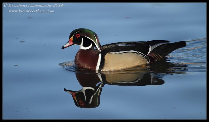 Wood Duck male, Santee Lakes, San Diego County, California, February 2014