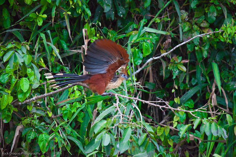 """An Hoatzin, or """"Stinky Bird"""" in the Amazon rain forest of Peru."""