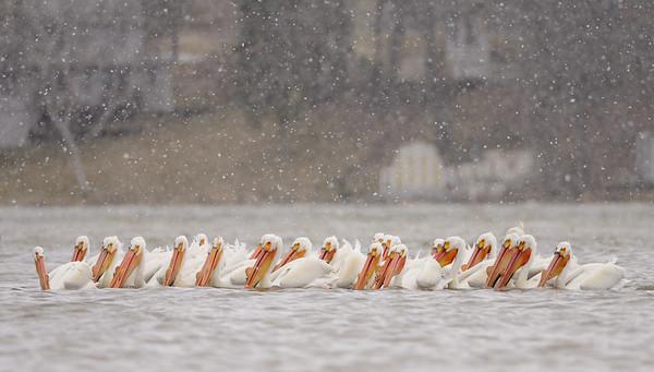 Lake Tichigan Pelicans