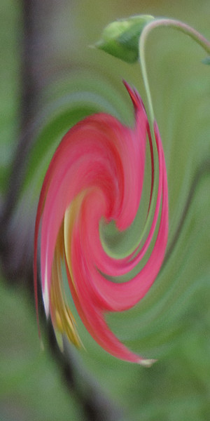 columbine twirl.jpg