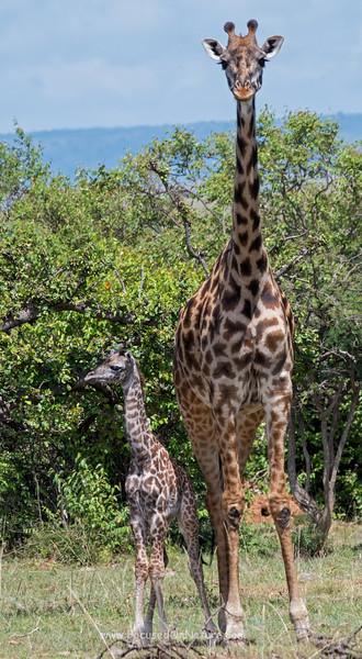 Tiny Baby Giraffe