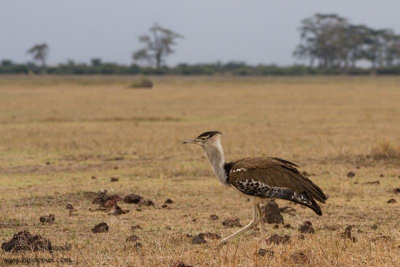Kori Bustard - Ngorongoro Crater, Tanzania