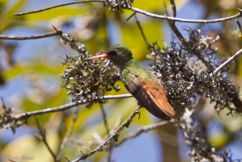 Amazilia Hummingbird at Abra Porculla, Peru (06-28-2010) 803