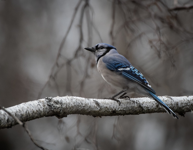 Blue Jay on White Birch
