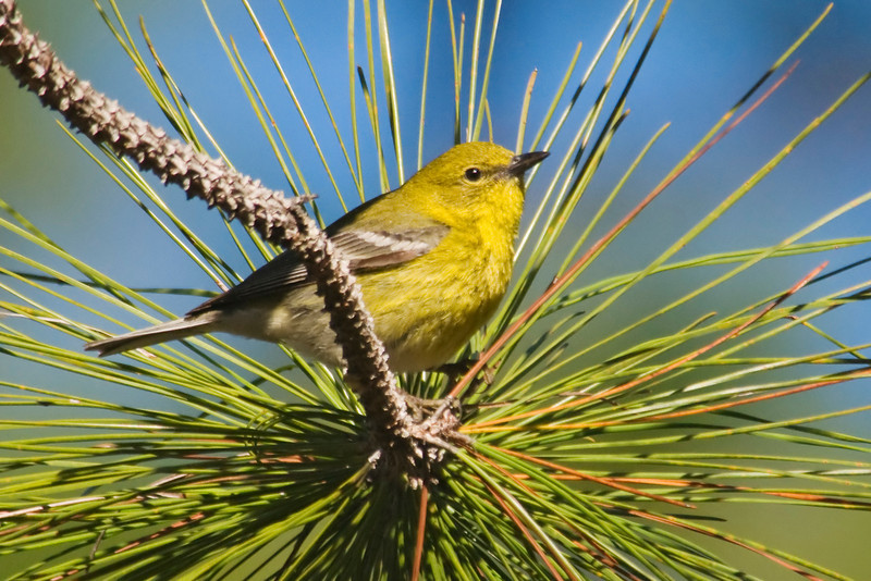 Warbler - Pine - Apalachicola National Forest - FL