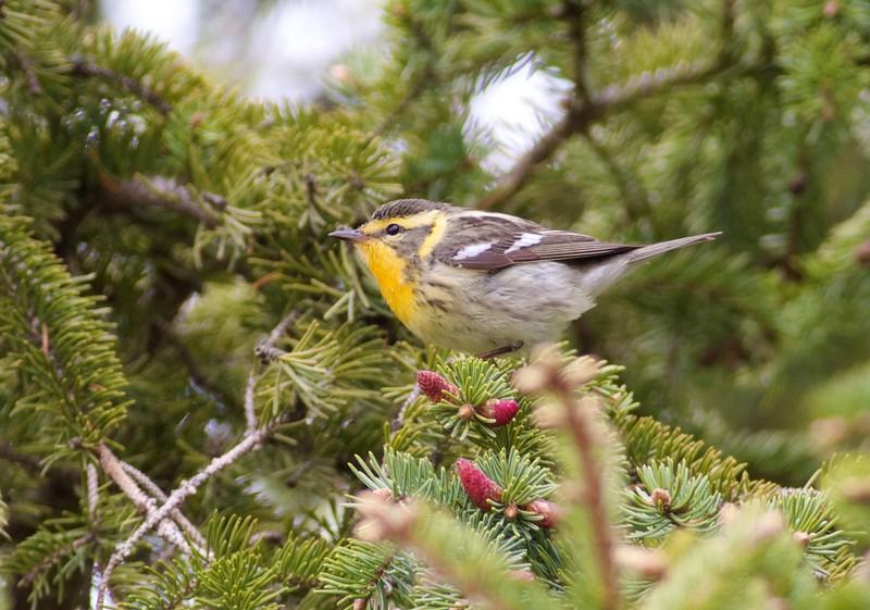 Blackburnian Warbler female Wisconsin Point Superior WI IMG_9049.jpg