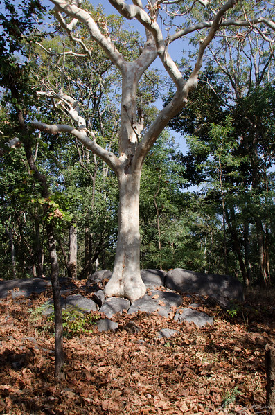 """Ghost Tree, Pench National Park """"The Popo Tree"""""""