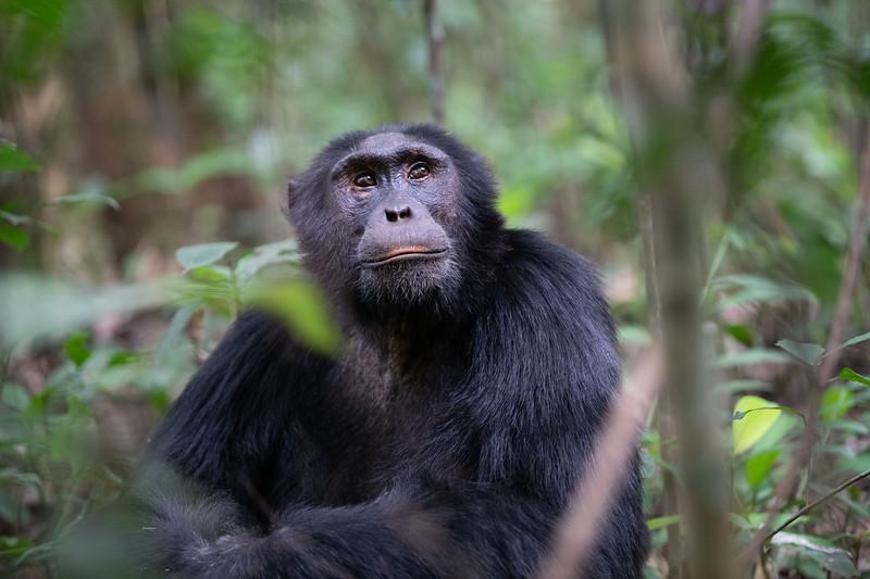Uganda_T_Chimps-569.jpg