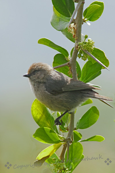 Bushtit ~ This Bushtit was photographed in the San Diego area.
