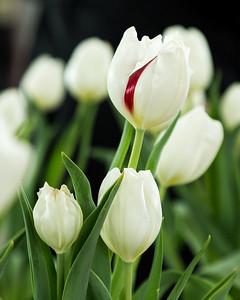 Ottawa, Ontario, Canada - Tulip Festival
