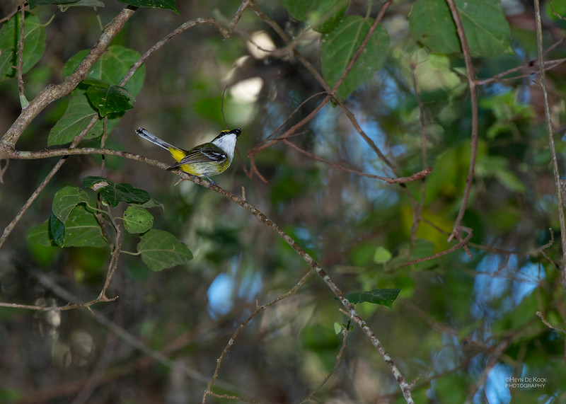 Yellow-breasted Boatbill, Julatten, QLD, Dec 2014.jpg
