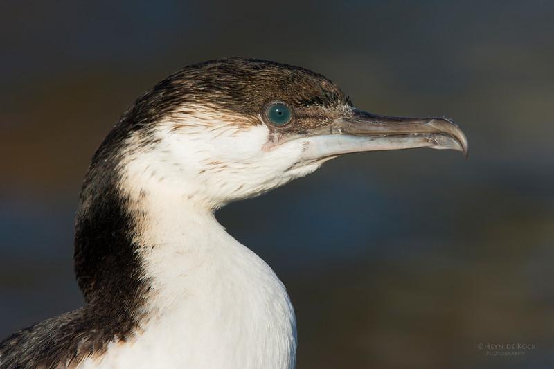 Black-faced Cormorant, sub-adult, Eaglehawk Neck, TAS, July 2015-1.jpg