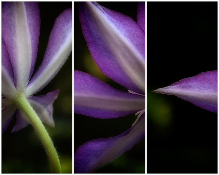 clematis-triptych.jpg