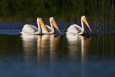 Pelicans White