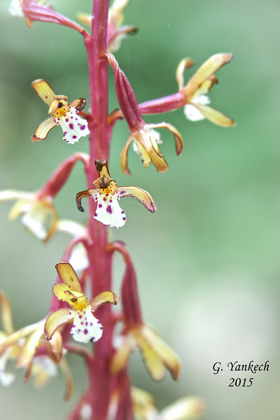 Western Spotted Coralroot