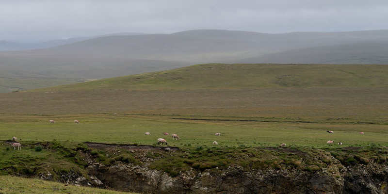 Flock Of Sheep grazing in a field, Erris Peninsula, Erris Head Loop Walk, Glenamoy, Belmullet, County Mayo, Ireland