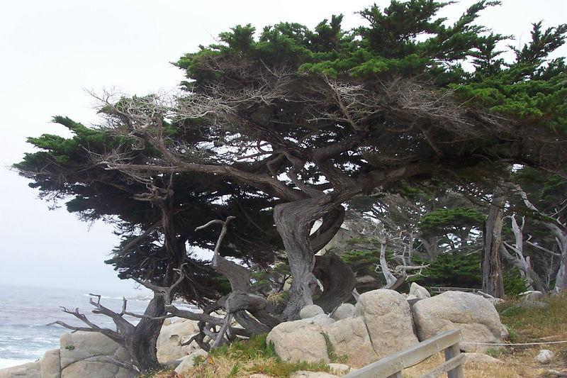 cypres trees.jpg