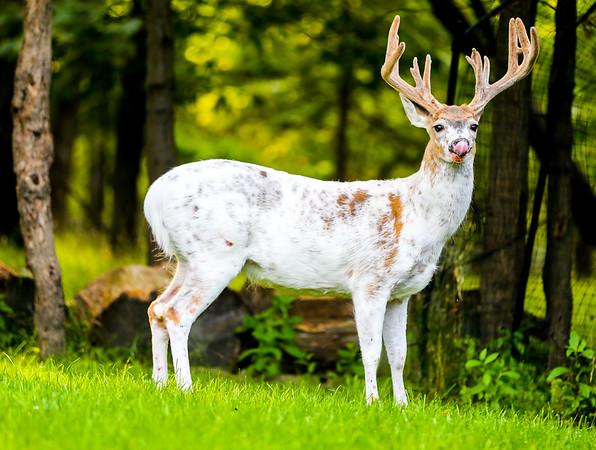 Piebald Deer - Ohio