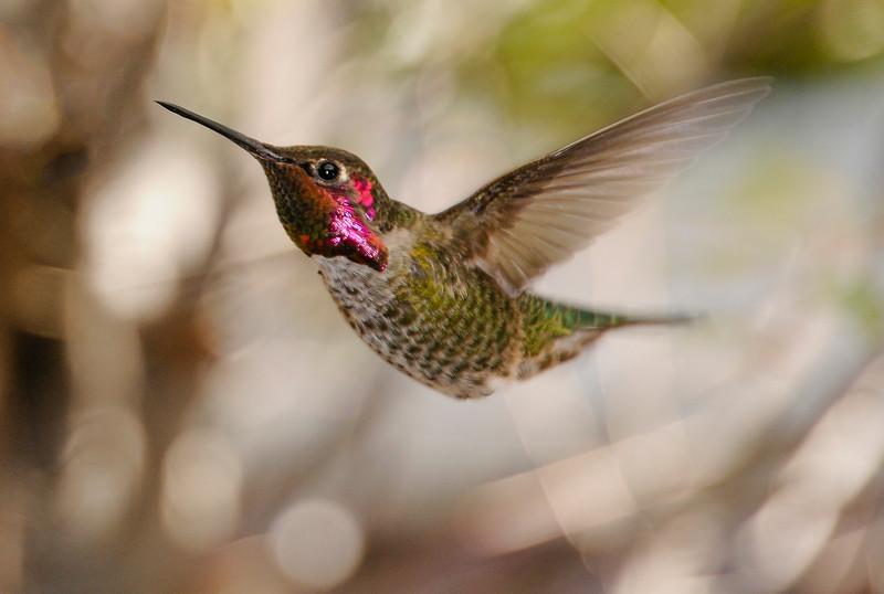 Hummingbirds-6.jpg