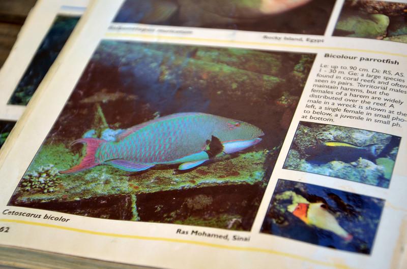 DSC_9690-bi-colour-parrotfish.JPG