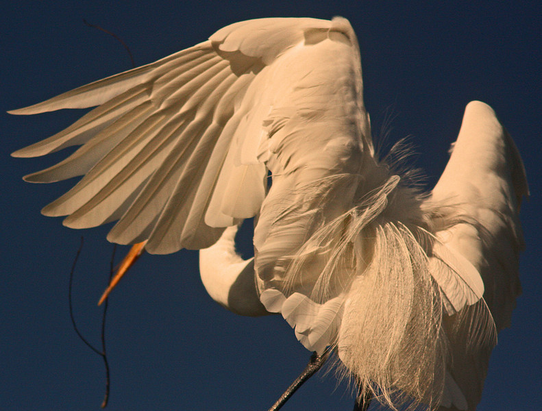 WB~Rookery egret stickbeaknwings1280.jpg