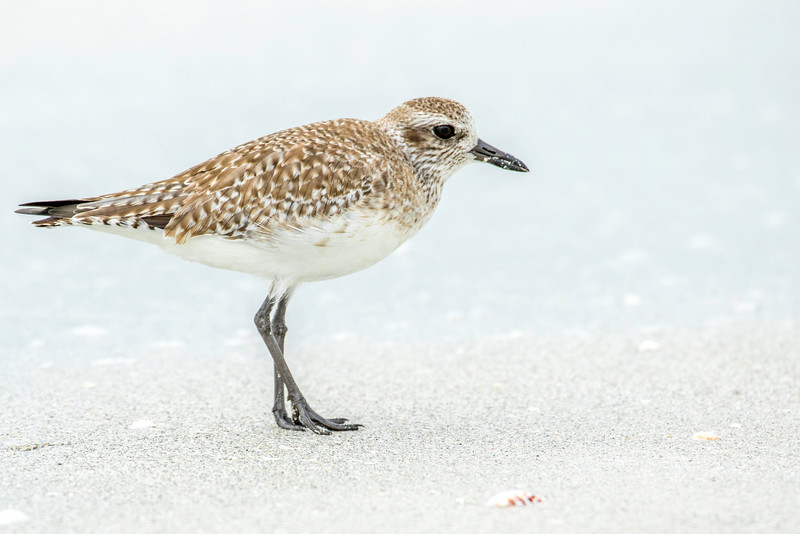 Black-belied Plover, winter plumage