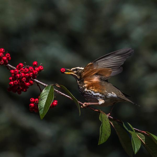 2017-01-02 RC Redwings Blackbirds Berries-2-297.jpg