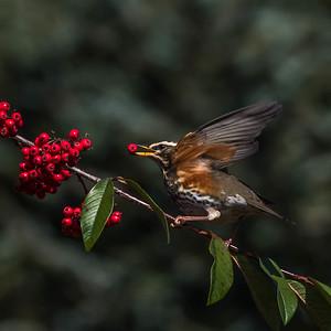 2017-01-02 Blackbirds Redwing Goldfinch Berries Robin
