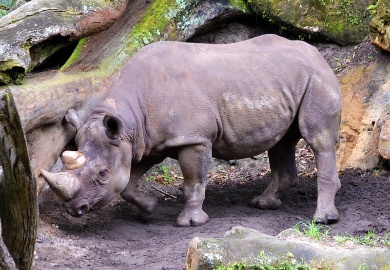 Day 4: Rhinoceros seen on Kilimanjaro Safaris at Disney's Animal Kingdom, photo by Dave Parfitt