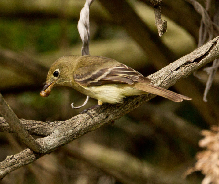 Pacific-slope Flycatcher  Aviara 2013 05 26 (2 of 4).CR2