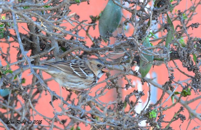 Immature Harris's Sparrow - 1/17/2015 - Leon Ave