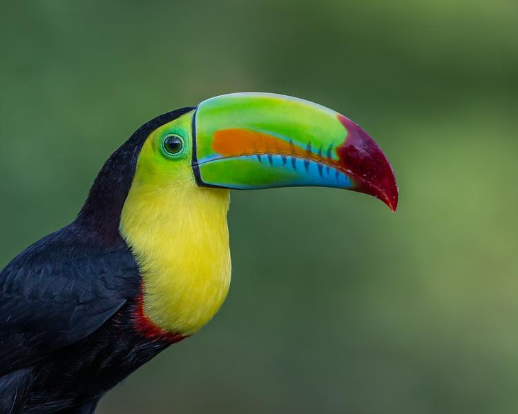 Keel-Billed Toucan - taken in Costa Rica.