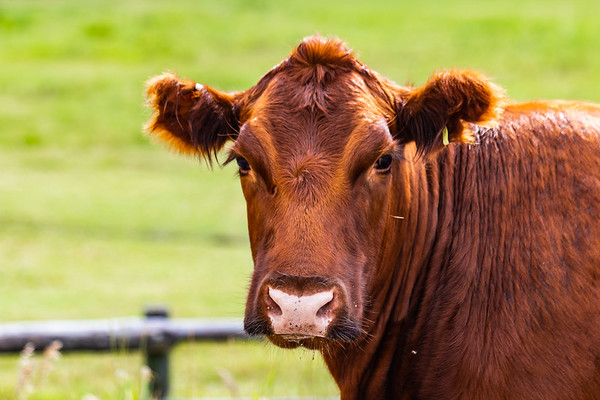 Cows at Hardware Ranch Wildlife Management Area, Utah