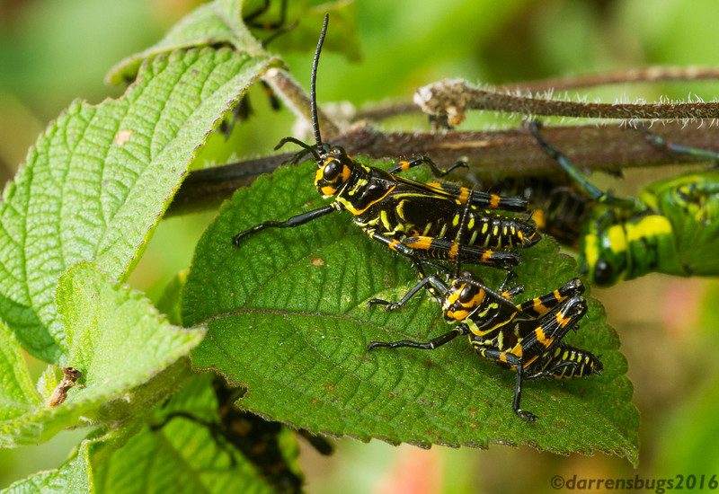 A brightly-colored aggregation of grasshoppers from Monteverde, Costa Rica. Their attention-grabbing coloration is likely a warning of their toxicity.