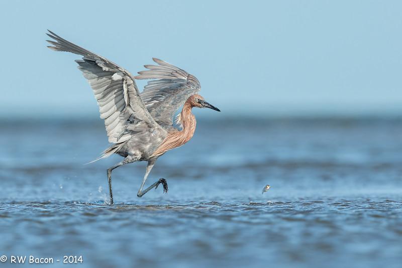 Reddish Egret Fishing.jpg