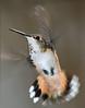 Rufous Hummingbird PSE IMG_4120