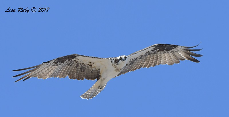 Osprey - 10/1/2017 - Del Mar Public Works