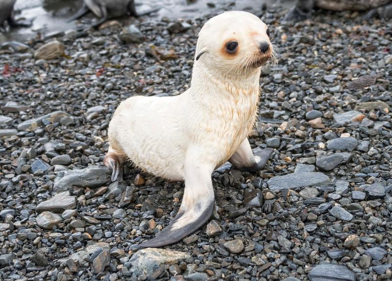 Seals_Fur_Stromness_South Georgia-4.jpg