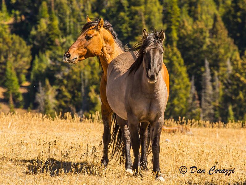 2 Mustangs c-1a.jpg