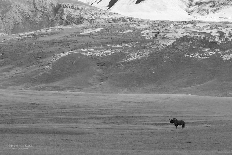 Black Wildebeest, b&w, Goldengate NP, FS, SA, Oct 2016-6.jpg