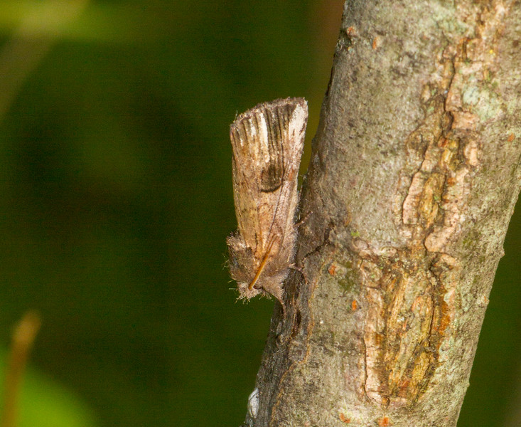 Oligocentria semirufescens Red-washed Prominent Moth 93-0105 8012 Family Notodontidae Skogstjarna Carlton County MN   IMG_0425.jpg