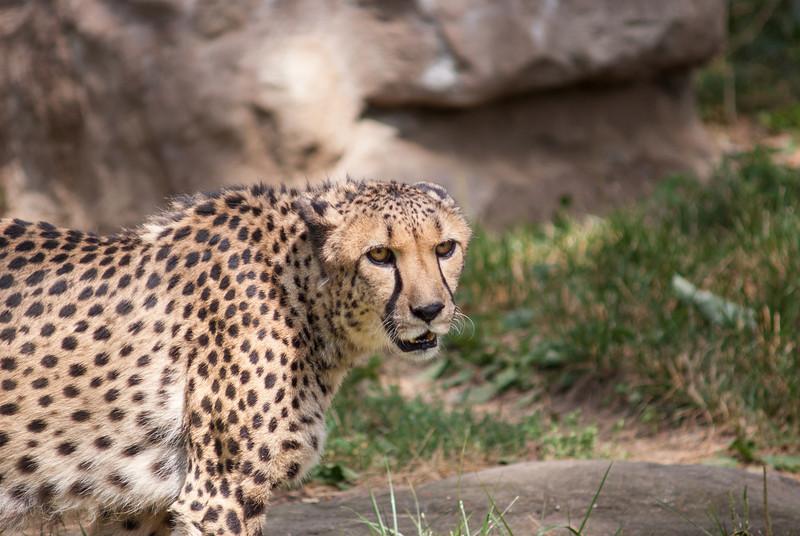 cheetah-4.jpg