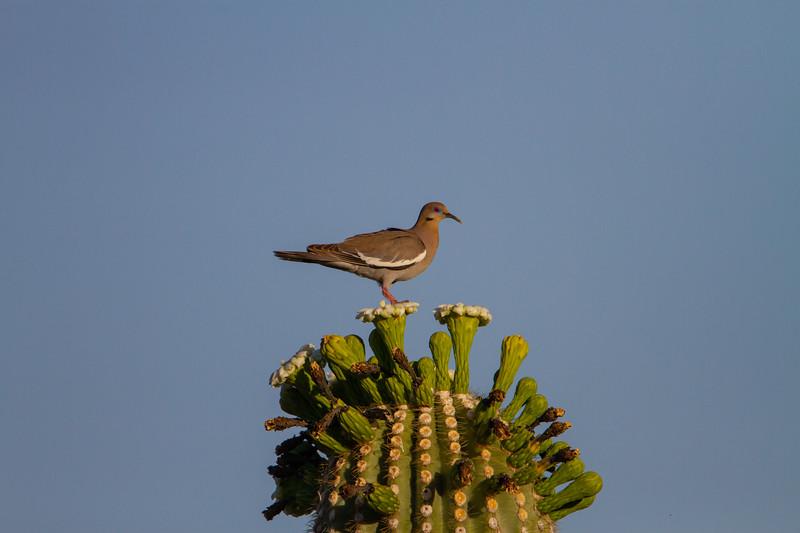 White-winged Dove - Tucson, AZ, USA