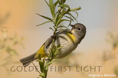 Virginia's Warbler, Tucson AZ, USA