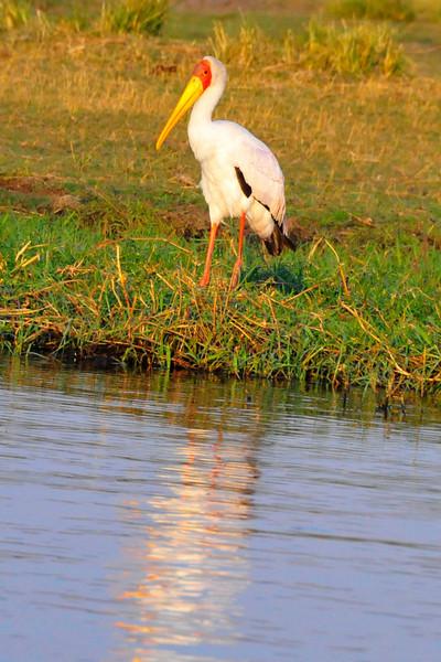 _D038456 Yellow-billed Stork At Chobe River