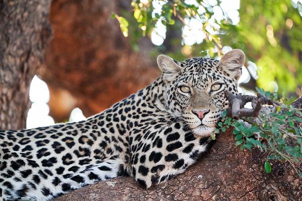 Leopard Mashatu Botswana 2019