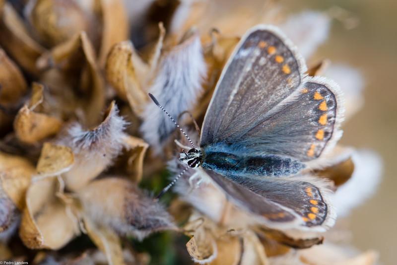 Common Blue - Female.jpg